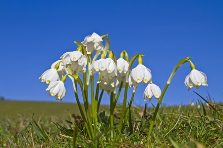leucojum vernum on a green meadow
