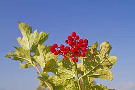 ribes: Ribes alpinum Stock Photo