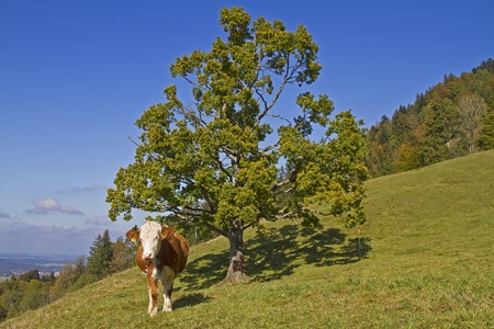 calving: Cows in a meadow with deciduous trees