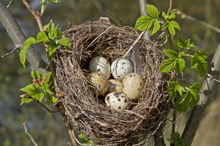 nest egg: Bird nest with eggs Stock Photo