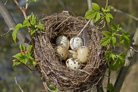 Nid d'oiseau avec des oeufs Banque d'images - 14015550