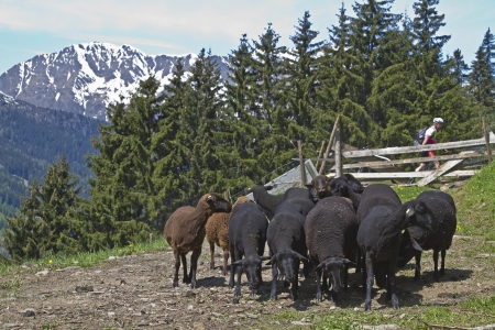 bleating: Herd with black sheep in a pasture in the Dolomites in South Tyrol