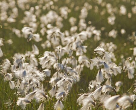 sour grass: Eriophorum in moorland
