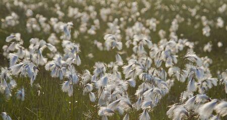 moorland: Eriophorum in moorland
