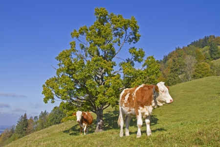 calving: Cows on a meadow in Upper Bavaria