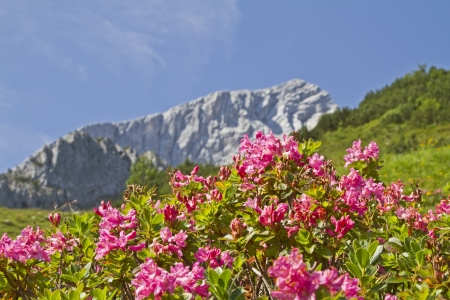 mountain Alpspitze and Rhododendron hirsutum Stock Photo