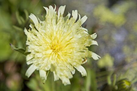 hawkweed: Hieracium intybaceum Stock Photo