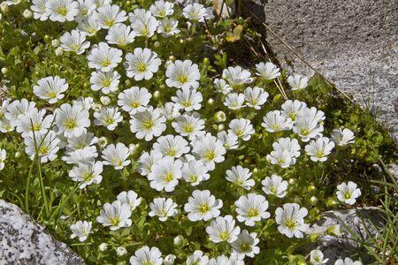 chickweed: Cerastium latifolium Stock Photo