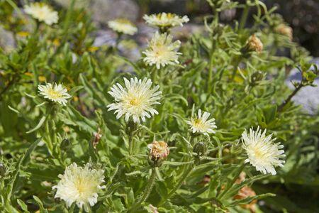 hawkweed: Hieracium intybaceum