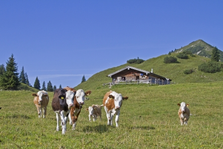 Cows spend the Summer in the Hills Stock Photo