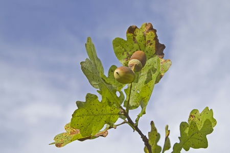Acorns on a leafy branch photo