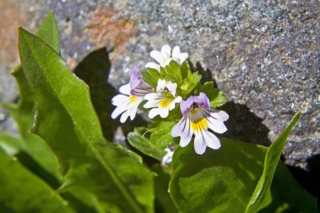 Euphrasia rostkoviana