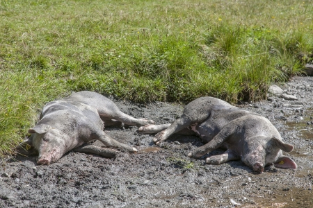 omnivores: Two pigs rest in their favorite mud hollow Stock Photo