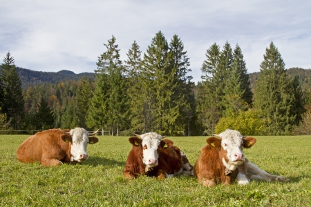 Three cows on a green meadow