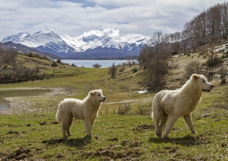 Maremma Abruzzo sheepdogs