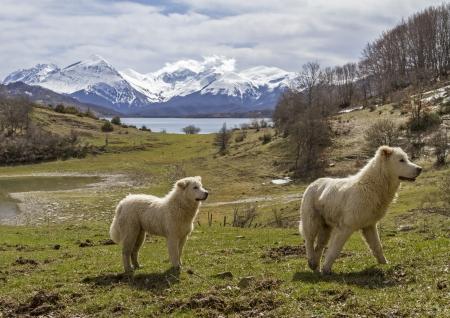 Maremma Abruzzo sheepdogs Reklamní fotografie - 19491608