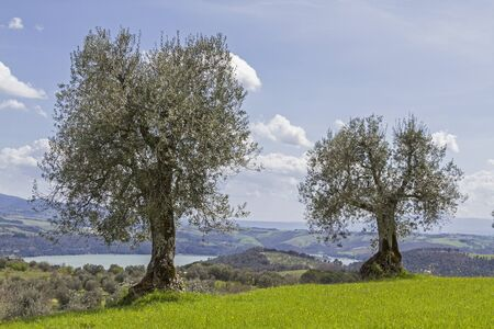 insensitive: Olive trees in the Tuscan countryside