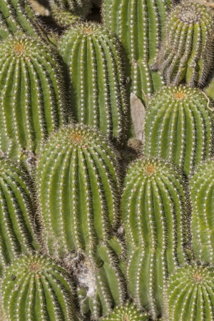 cactus botany: Attention prickly - Cacti richness in Central Italy