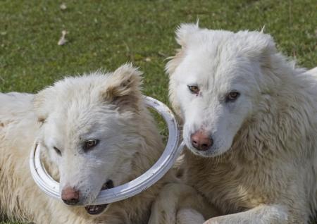 Maremma Abruzzo sheepdogs Stock Photo - 20183051