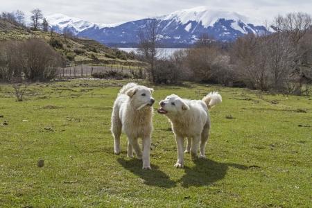 abruzzo: Maremma Abruzzo sheepdogs