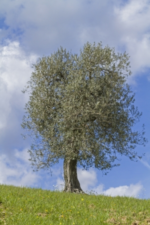 insensitive: Olive tree in the Tuscan countryside Stock Photo