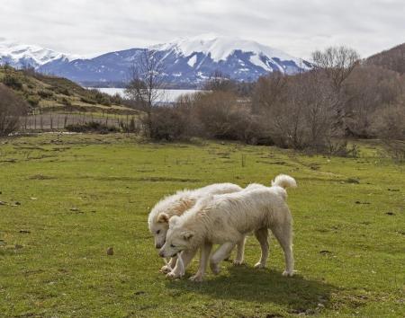 abruzzo: two Maremma Abruzzo sheepdogs