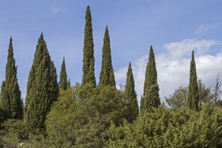 Bizarrely cypress forest in Tuscany Stock Photo