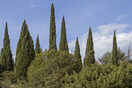 Bizarrement forêt de cyprès en Toscane Banque d'images - 20775120