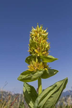 Gentiana lutea photo