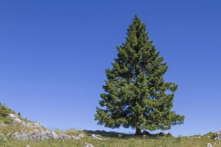 picea: Magnificent spruce standing isolated on a ridge