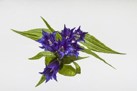 strangler: Gentiana asclepiadea Stock Photo