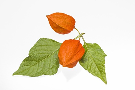 alkekengi: Physalis alkekengi  Stock Photo