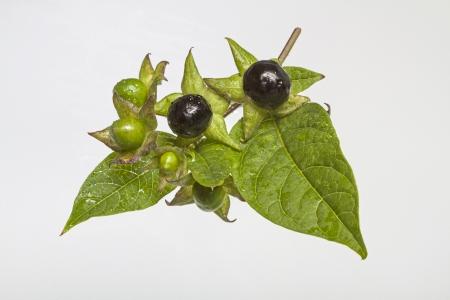 atropa belladonna