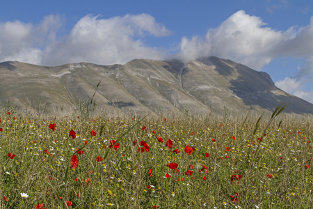 sibillini: Flower meadow on the Piano Grande in the Sibillini Mountains