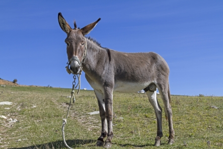 abruzzo: donkey on a meadow in the Abruzzo
