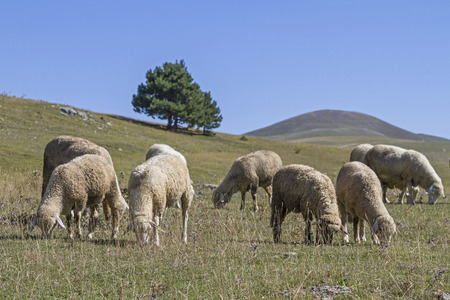 apennines: Flock of sheep in Abruzzo