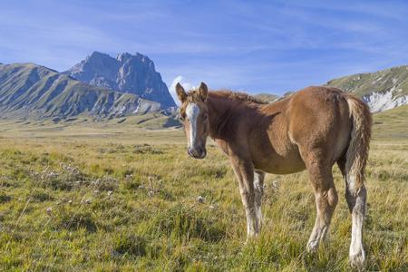 prato montagna: Piccolo puledro al pascolo di fronte al Corno Grande, il punto pi� alto d'Abruzzo, su un prato di montagna Archivio Fotografico