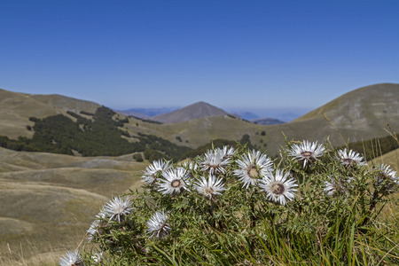 carlina acaulis in Abruzzo photo
