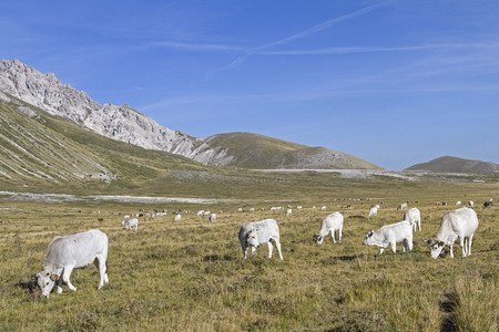 abruzzo: Herd of cows on the Campo Imperatore in the Abruzzo Stock Photo