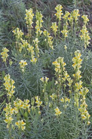 common snapdragon: Linaria vulgaris