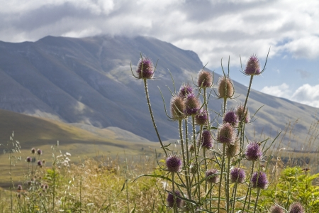 weber: thistle before the Sibillini Mountains