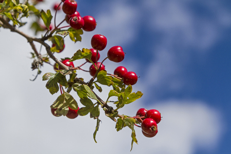 hawthorn: red berries of Hawthorn Stock Photo