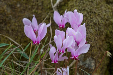 cyclamen:  Cyclamen purpurascens