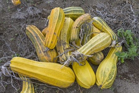sorted: Sorted out zucchini on a farm in Italy