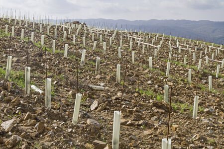 alcohol series: New cultivation of a vineyard