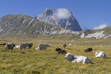 abruzzo: cows on the Campo Imperatore in the Abruzzo