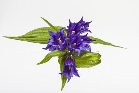 Gentiana asclepiadea Stock Photo