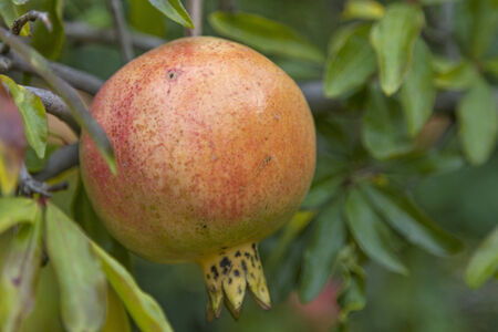 dicot: Grenadine on the tree