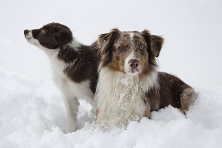 quadruped: Two Border Collie puppy and an Australian Shepard enjoy the winter