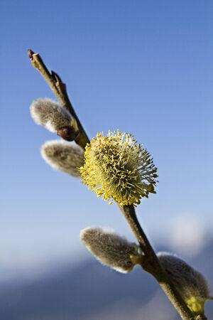 salix: Salix caprea